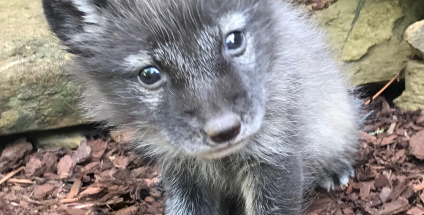 2021 Deposit Polar or Blue Arctic Fox Kit