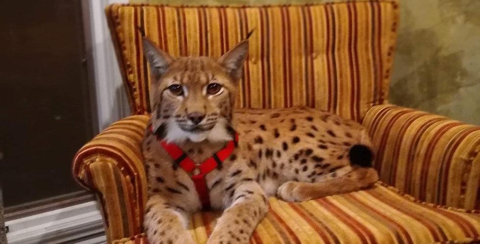 2021 Carpathian Lynx Kitten