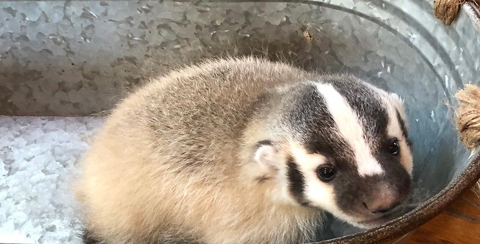 2021 Deposit American Badger Cub