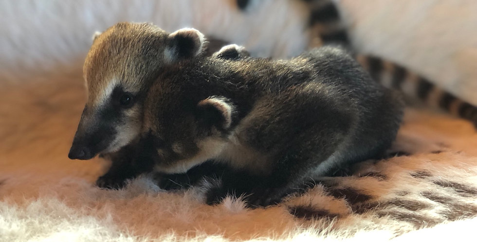 2021 Deposit Mountain Coatimundi Female