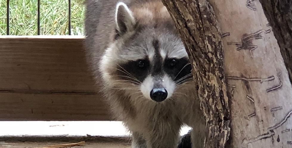 2021 Raccoon - cinnamon kit