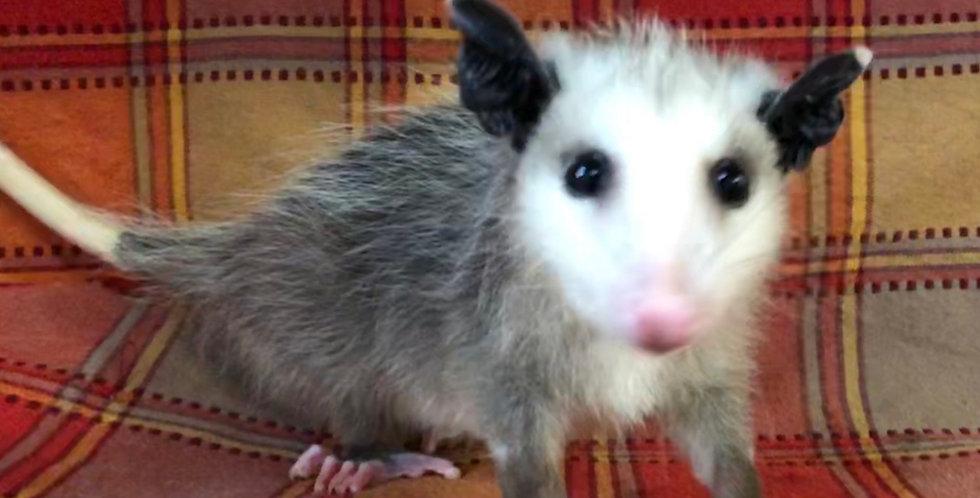 2021 Virginia Opossum