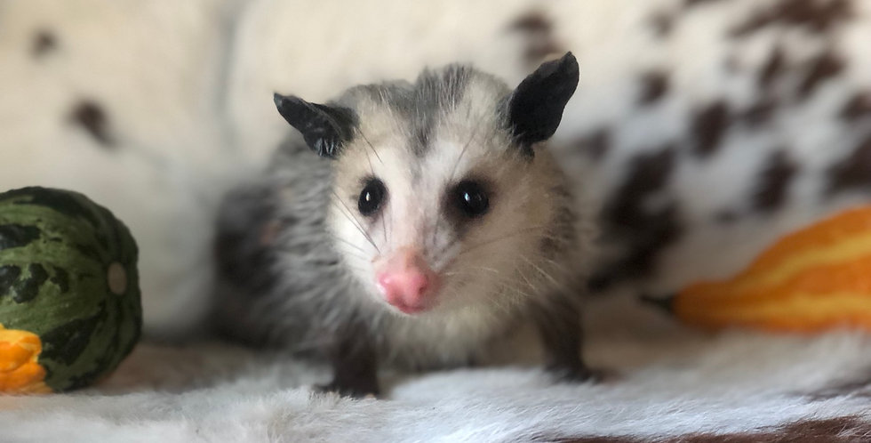 2021 Deposit Virginia Opossum Kits
