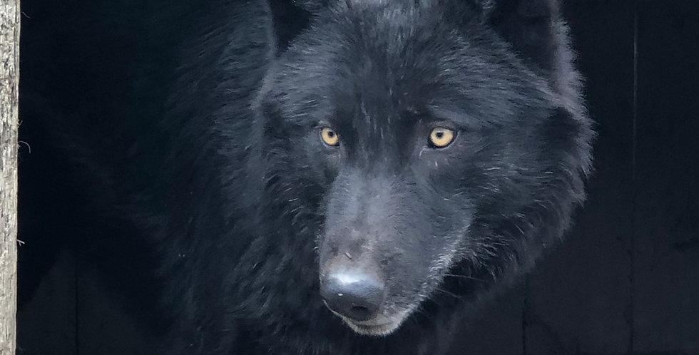 2021 Wolf Hybrid 75%- 85%