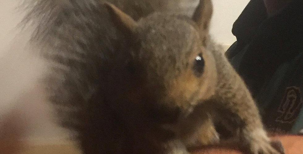 2021 Deposit Grey Squirrel