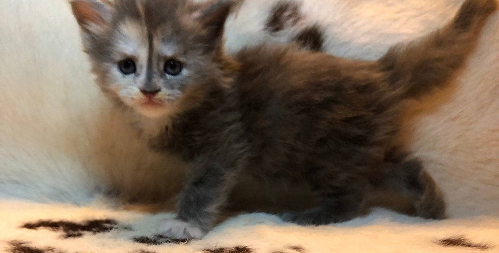 Deposit Mainecoon Kitten future litter