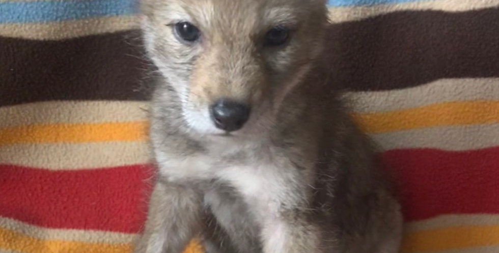 2021 Deposit Coyote Pup