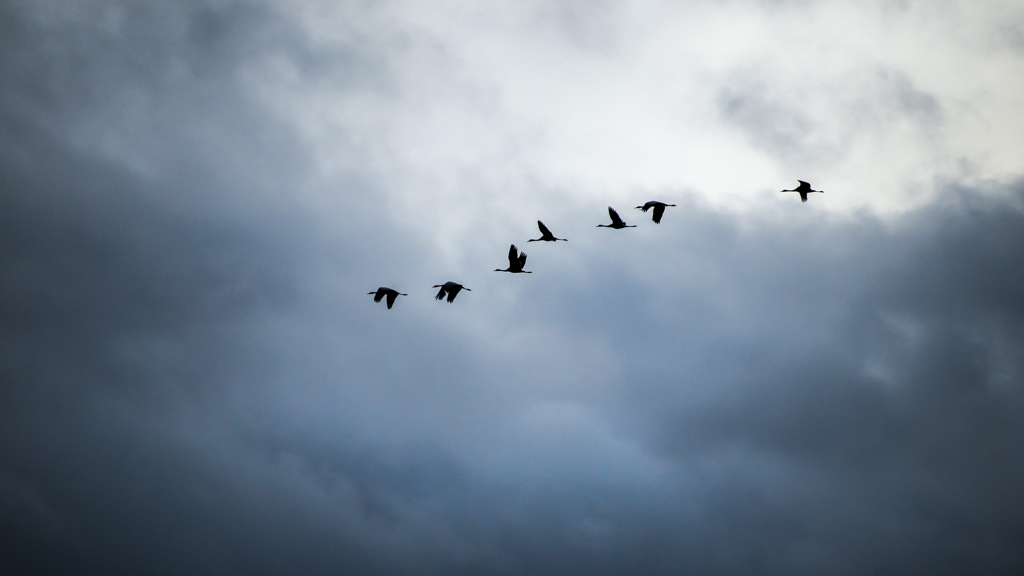 Vol de grues cendrées