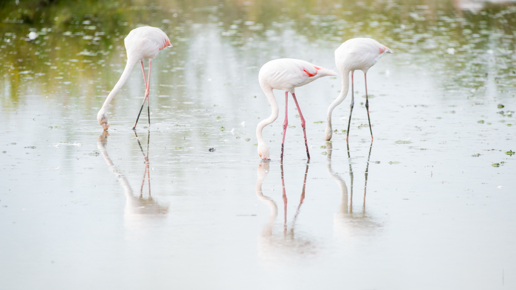 Flamants roses