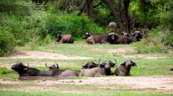 Buffles d'Afrique
