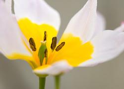 Tulipe de Crète