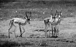 Gazelles de Grant