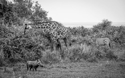 Girafes, zèbre et phacochère