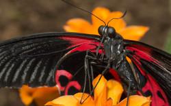 Papilio rumanzovia femelle