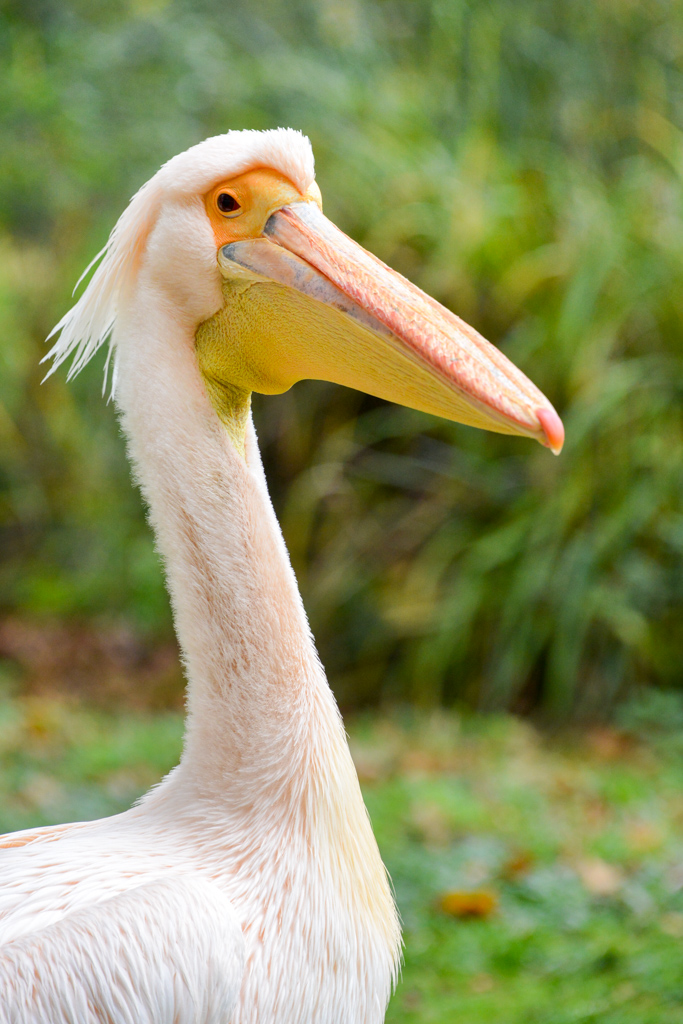 Pélican blanc mâle