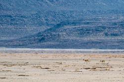 Gazelles de Pelzen