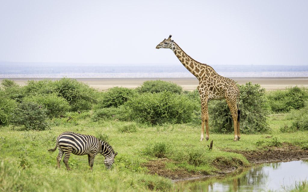 Girafe et zèbre