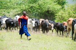 Eleveur Massaï et son bétail