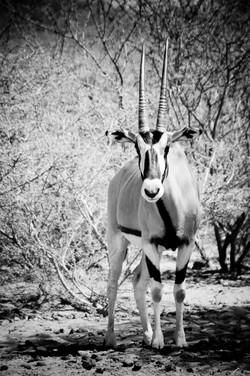 Oryx beïsa