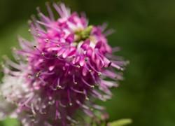 Veronique arbustive