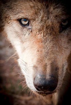 Loup gris commun