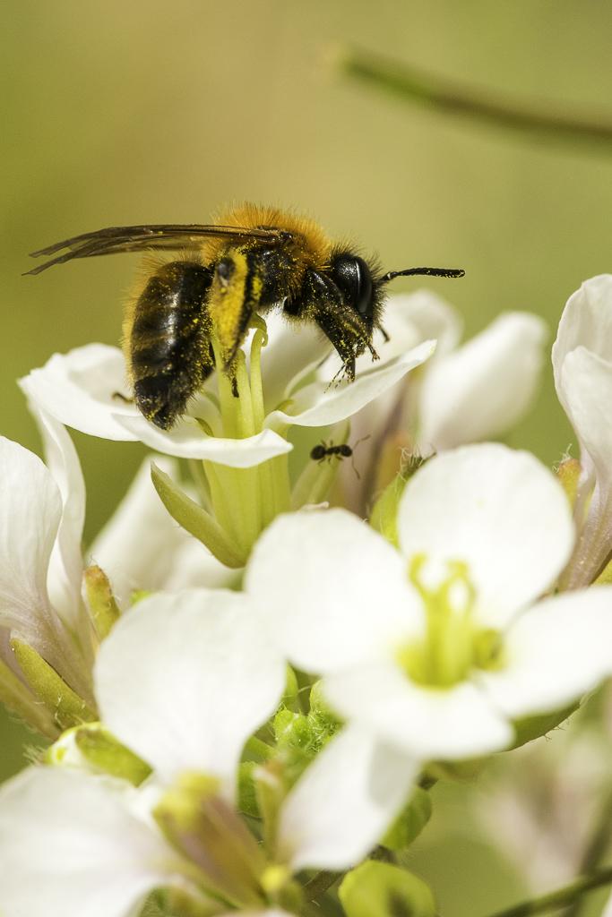 Butinage de l'abeille