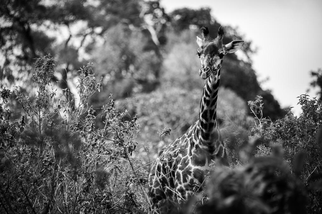 Girafe Masaï