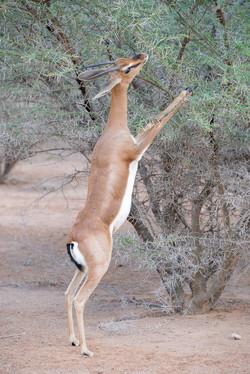 Gazelle de Pelzen