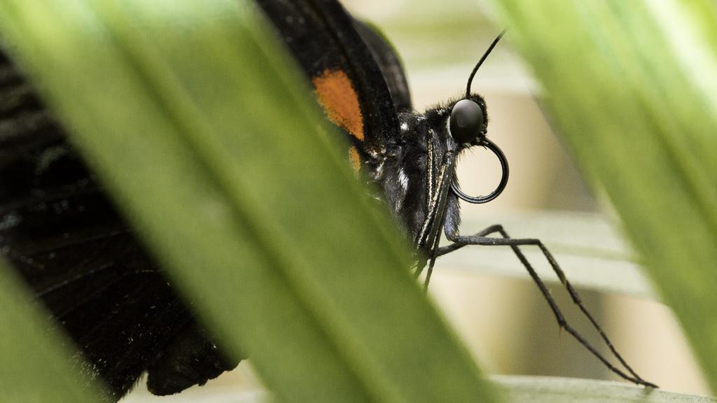 Grand Mormon - Papilio memnon