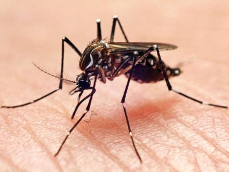 EEUU libera el primer grupo de miles de mosquitos genéticamente modificados para detener el dengue
