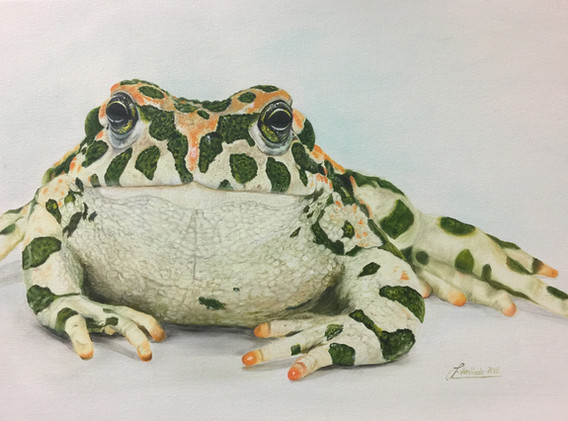 Lindner Kröte (Grüne Wechselkröte)