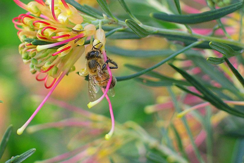 Grevillia Bee