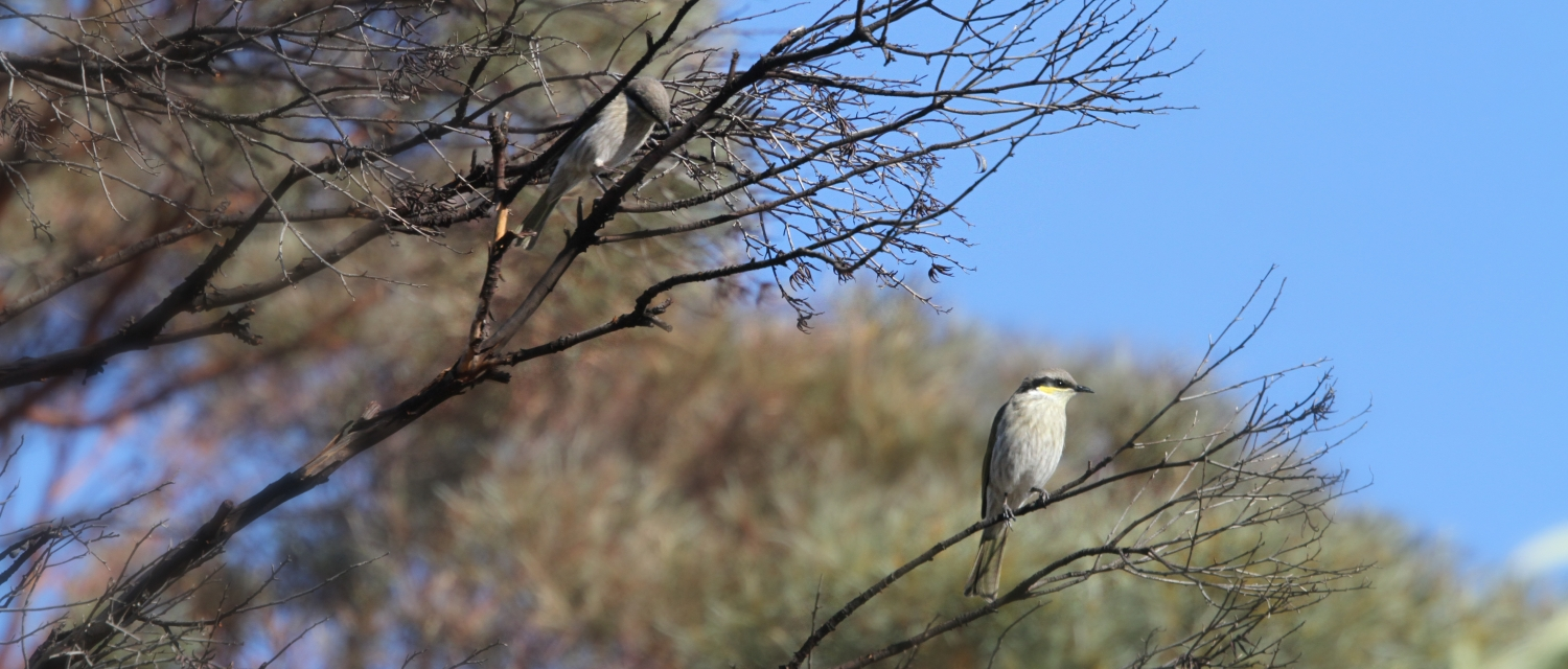 Singing Honeyeaters