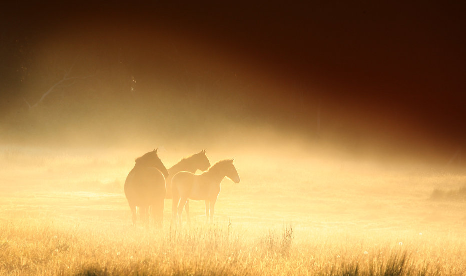 Brumbies in the Morning Mist