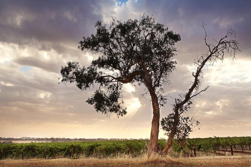 Watervale Vines