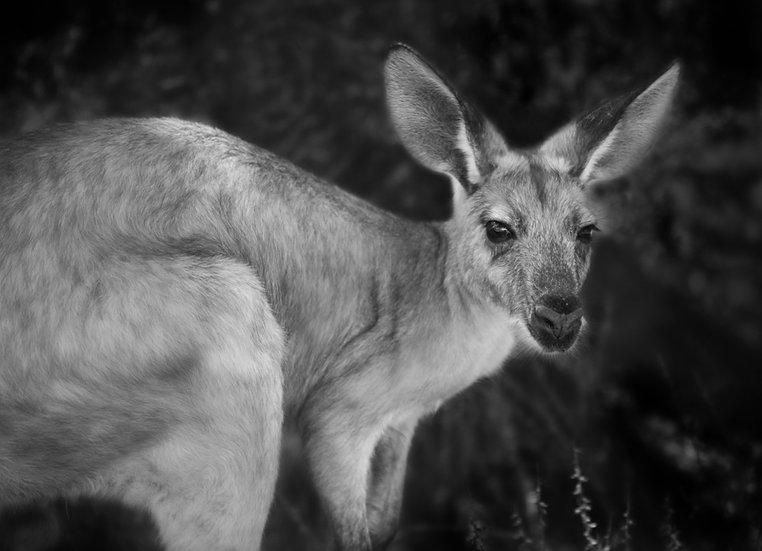 Velvet Kangaroo