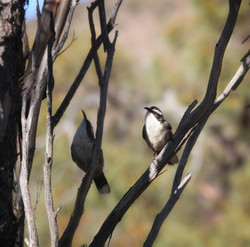 White Browed Babblers