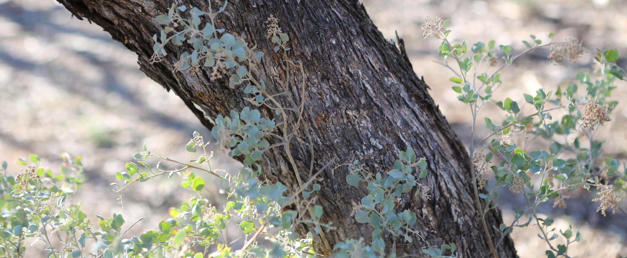 Salt Bush and Mallee Trees