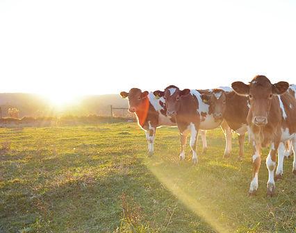 guernsey calf