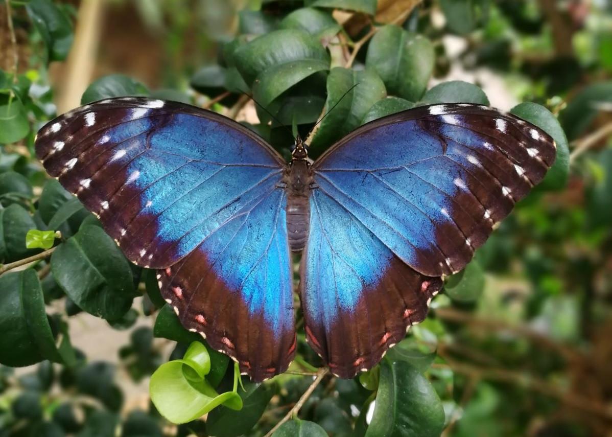 Morpho peleides, blauwe Morpho, in Vlindertuin Vlindorado - Waarland (Tussen Alkmaar en Schagen in Noord-Holland)