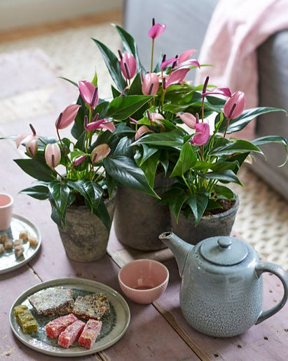 anthurium-paars-potplant-Dekker%20anthur