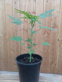 papayaplant los in winkel.jpg 1.jpg