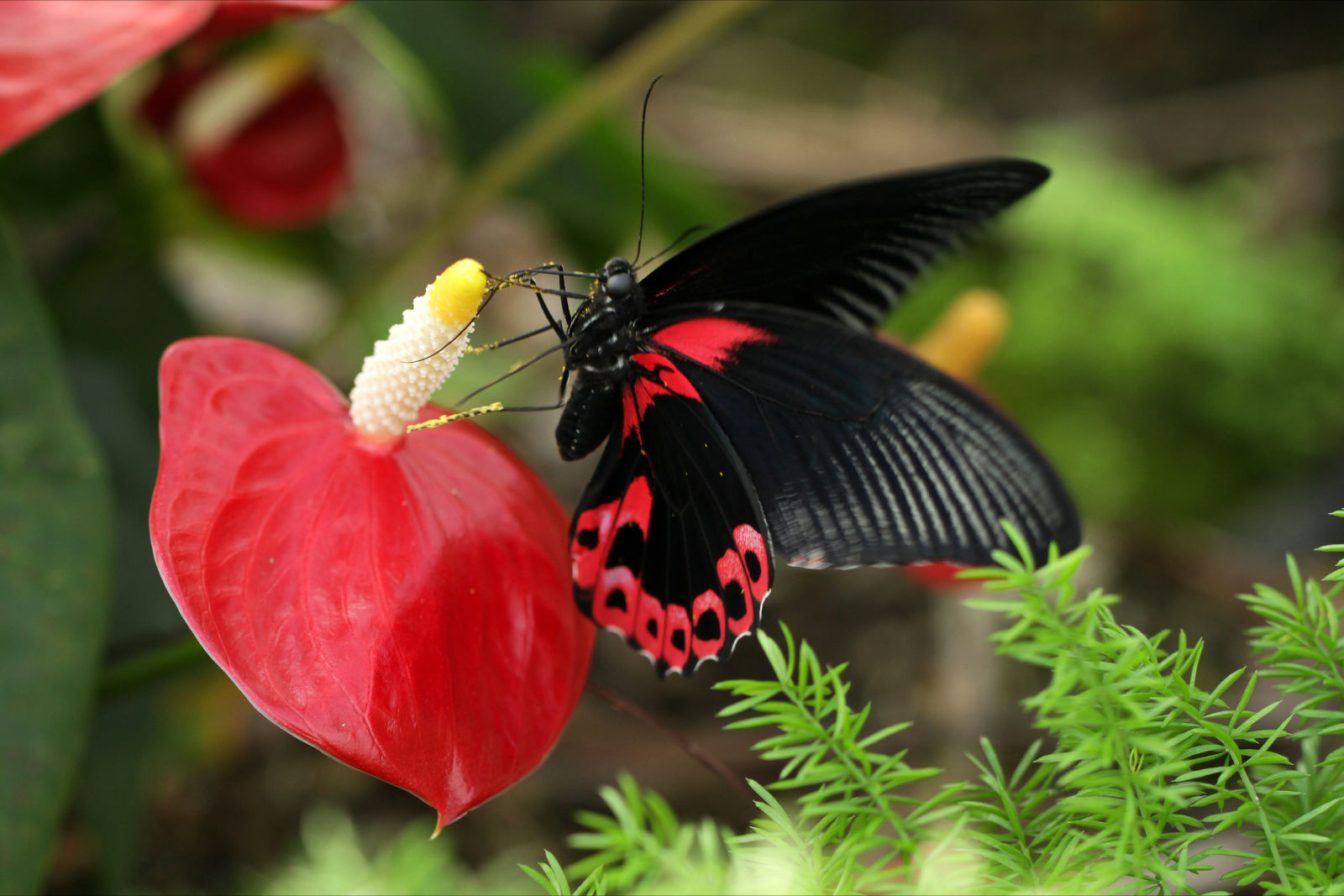 Papilio Rumanzovia in Vlindertuin Vlindorado, Waarland (Schagen, Noord-Holland)