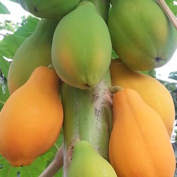 Papaya kwekerij