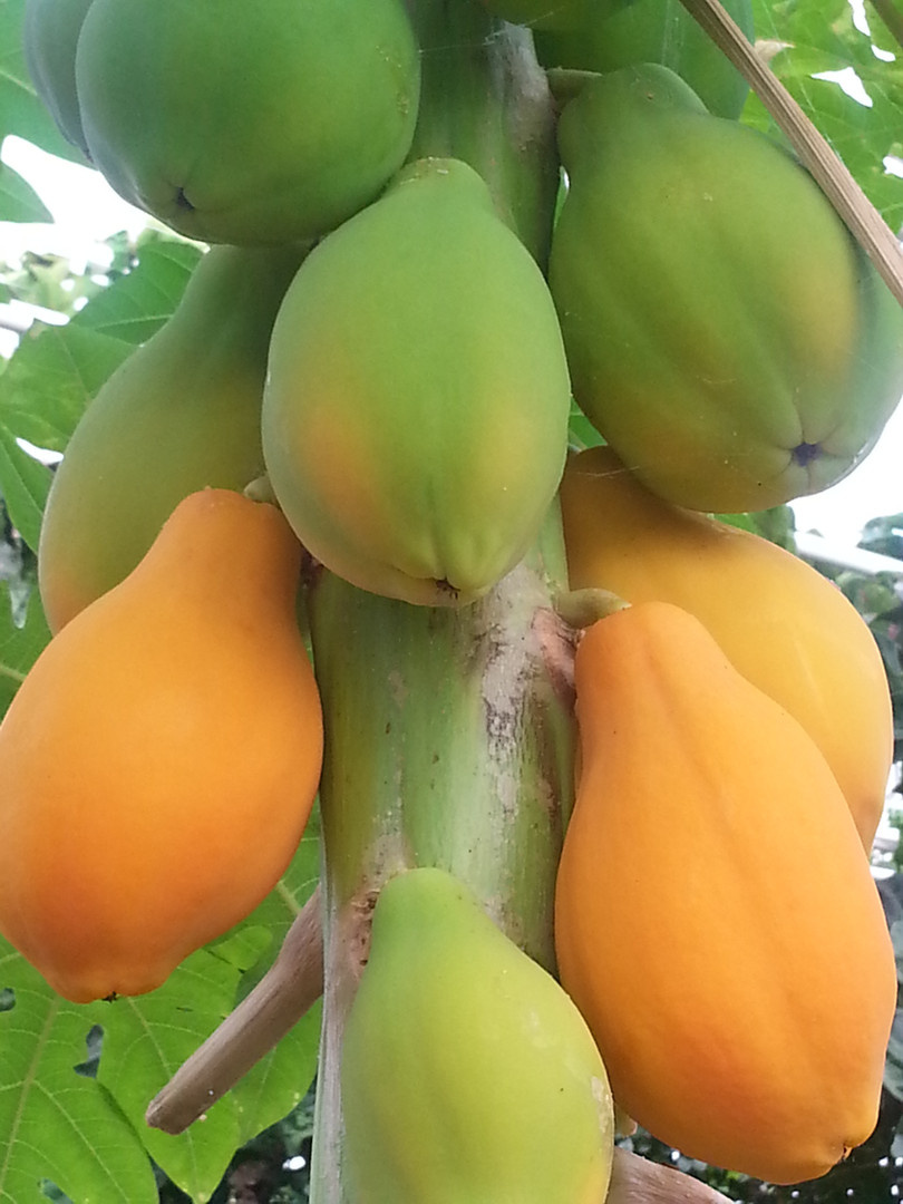 Papaya detail.jpg
