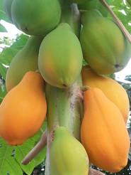 Papaya detail.jpg