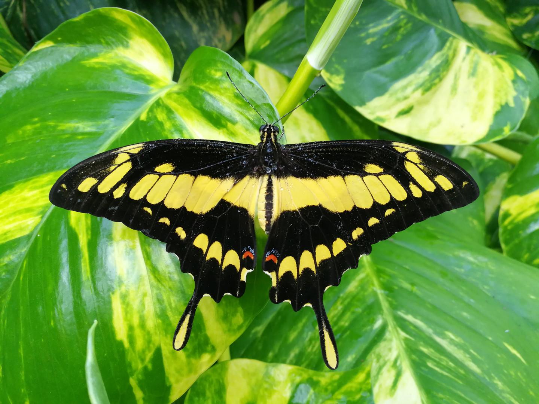 Papilio Thoas in Vlindertuin Vlindorado Waarland (Tussen Alkmaar en Schagen in Noord-Holland)