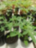 papayaplantjes in de kas.jpg 1.jpg