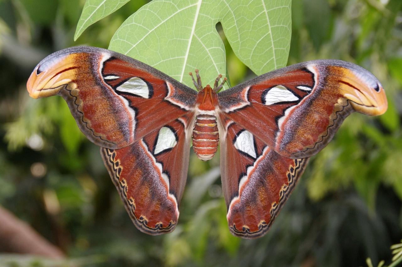 Attacus Atlas - Atlas vlinder in Vlindertuin Vlindorado Waarland (tussen Alkmaar en Schagen in Noord-Holland)