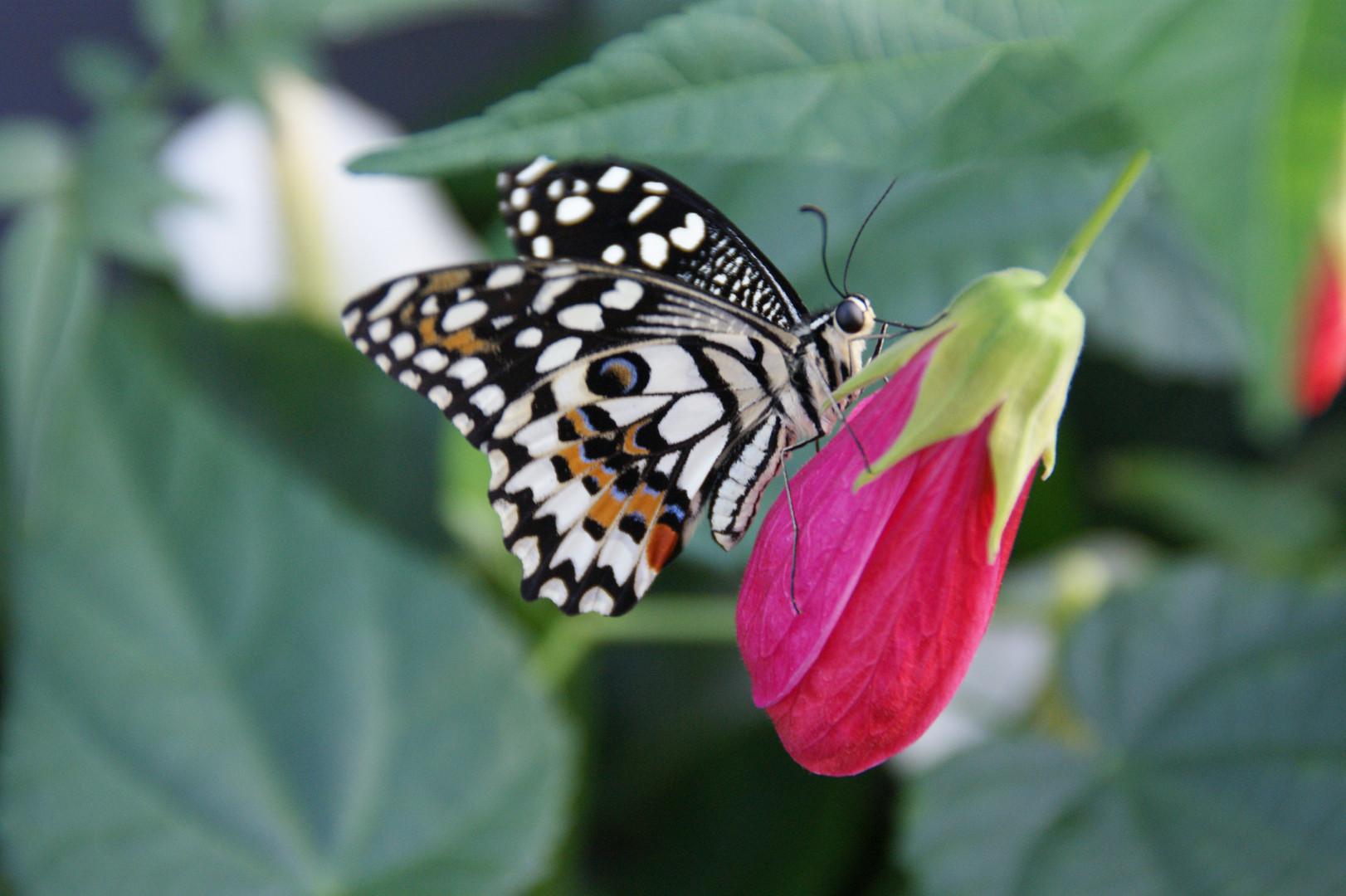 Papilio Demoleus in Vlindertuin Vlindorado in Waarland (Tussen Alkmaar en Schagen in Noord-Holland)